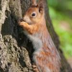 Ağaç kabuğu karşı sincap — Stok fotoğraf
