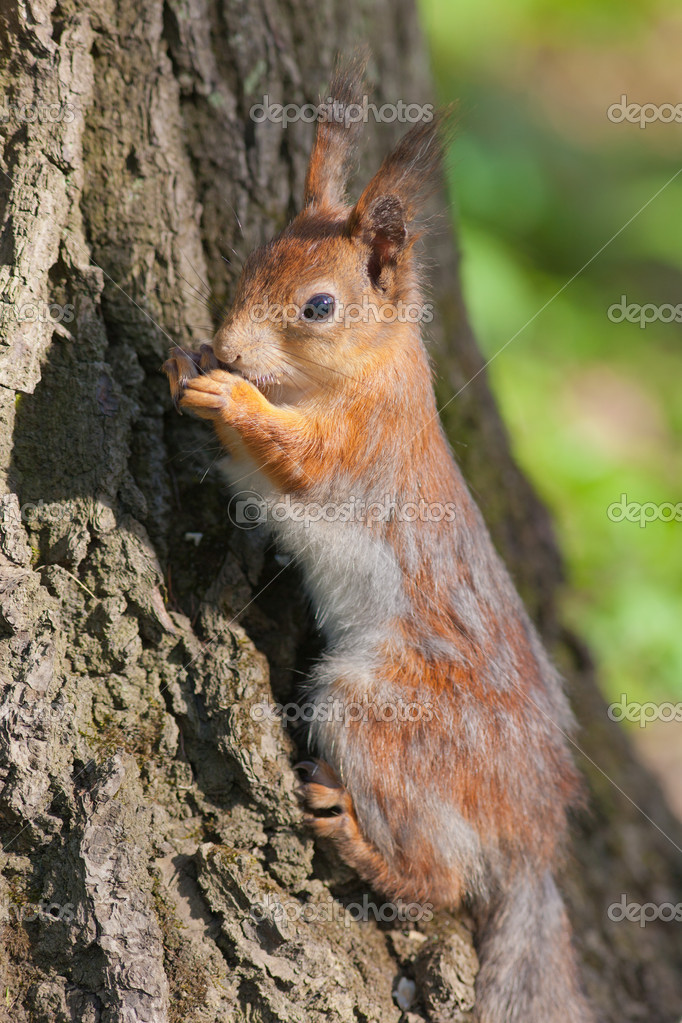 Portrait of a squirrel at the tree bottom — Stock fotografie #11775701