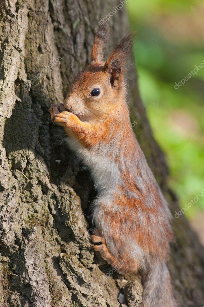 Portrait of a squirrel at the tree bottom — 图库照片 #11775701