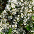 Tiny white bridal wreath flower — Stock Photo