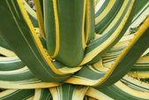 Planta suculenta agave amarillo verde — Foto de Stock