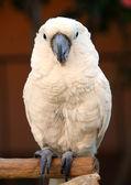 White Moluccan Cockatoo parrot bird — Stock Photo