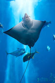 Manta ray floating underwater — Stock Photo