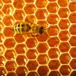 One bee works on honeycomb — Stock Photo