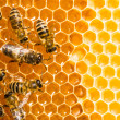 Close up view of the working bees on honeycells. - Foto Stock