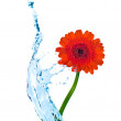 Red flower with water splash isolated on white — Stock Photo
