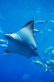 Manta ray floating underwater among other fish — Stock Photo