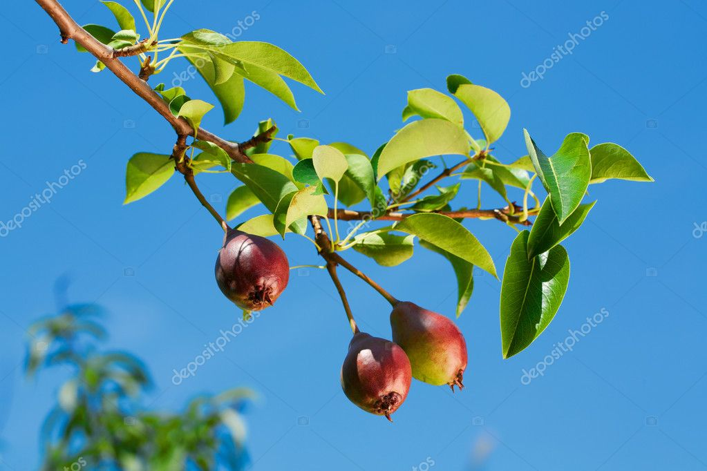 Green pears with leafs on the branch — Stock Photo #11375818