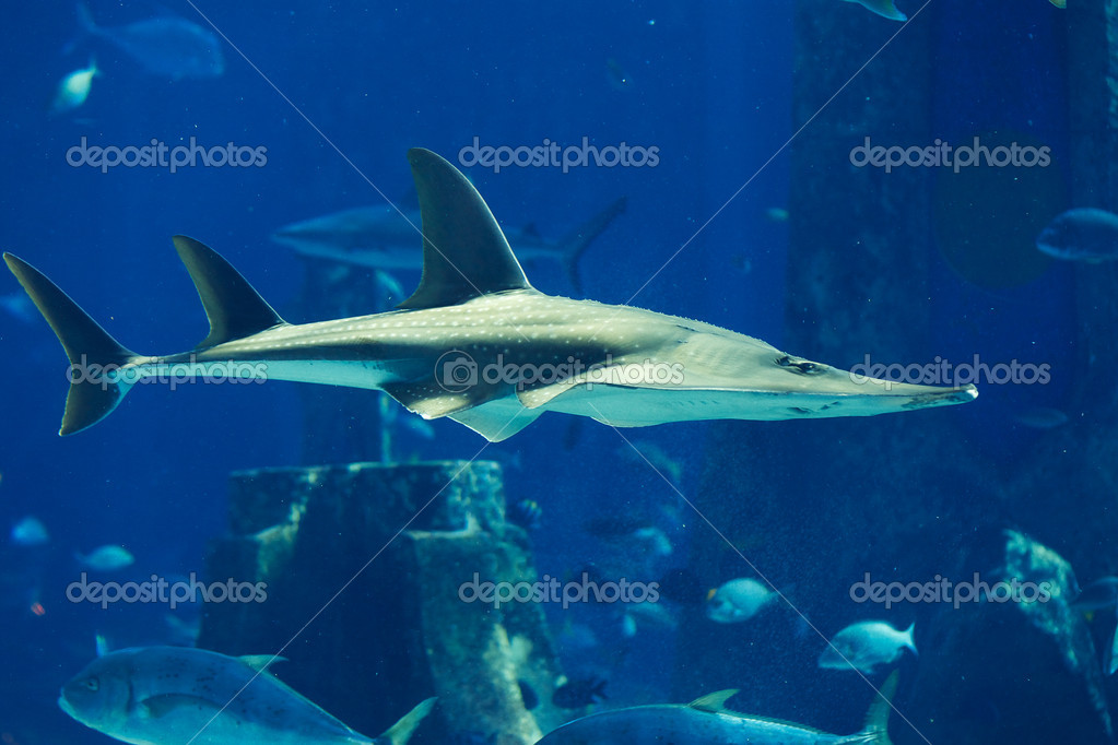 A large grey shark — Stock Photo #11375908