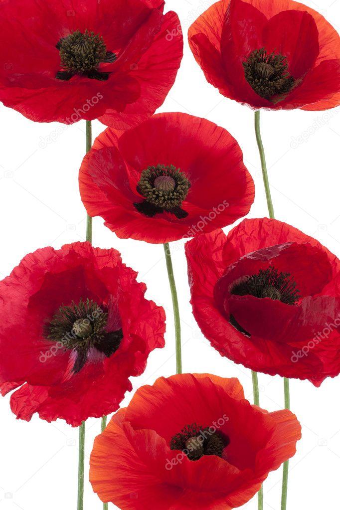 Poppy flowers — Stock Photo © _Vilor #11185789