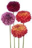 Dahlia flowers — Stock Photo