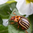 Colorado potato beetle eating leaf — Stock Photo #11574928
