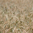 Wheaten field, small DOF, cluse up. — Stock Photo #11260154