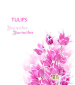 Pink tulips on white background — Photo