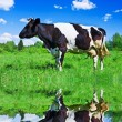 Cow grazing in a field near the river — Stock Photo