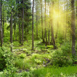 Sun beams pour through trees in forest - Stock Photo