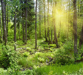 Sun beams pour through trees in forest — Stock Photo