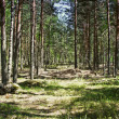 Pine forest taken in the morning — Stock Photo