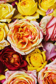 Background of roses of different — Stock Photo