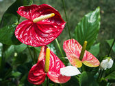 Closeup of several red anthurium andreanum — Stock Photo