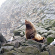 The Northern sea Lion (Steller sea lion). — Stock Photo
