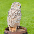 Siberian eagle owl, bubo bubo sibiricus — Stock Photo