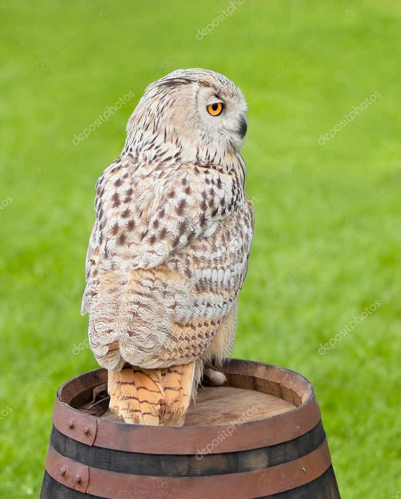 Siberian eagle owl, bubo bubo sibiricus, sitting on a wooden barrel — Stock Photo #10736232