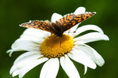 Butterfly on a chamomile — Stock Photo