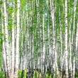 Birch forest. May — Stock Photo