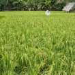 Padi field — Stock Photo #12024689