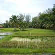 Padi field — Stock Photo