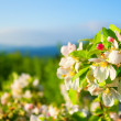 Flowering apple tree in mountain — Stock Photo #10911692