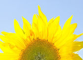 Yellow sunflower on a sky background — Stock Photo