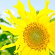 Stock Photo: Yellow sunflower on sky background