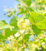 Blooming linden tree in the summer time — Stock Photo