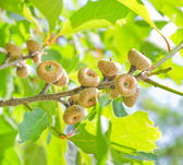 Green oak acorns in summer time — Stock Photo