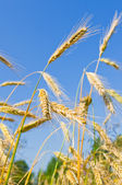 Golden wheat ears against blue sky — Stock Photo