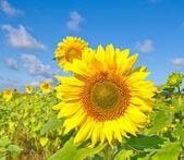 Magnifique tournesol contre le ciel bleu — Photo