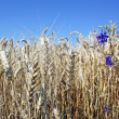 Rye ears in the field — Stock Photo