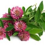 Red clover (Trifolium pratense) — Stock Photo