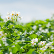 Blooming potato field — Stock Photo