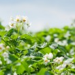 Royalty-Free Stock Photo: Blooming potato field