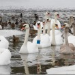 Swans and ducks on the river in the cloudy winter day — Stock Photo