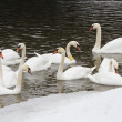 Swans on the river in the cloudy winter day — Stock Photo