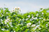 Bloeiende aardappel veld — Stockfoto