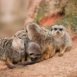Stock Photo: Look out: watchful meerkats