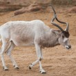 Addax or Mendes antelope: animals from Africa — Stock Photo #11782557