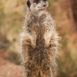 Alert: concerned meerkat looking out — Stock Photo