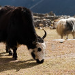 Livestock in Nepal: Yak in highland village in Himalayas - Stock Photo