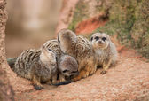 Look out: watchful meerkats — Stockfoto